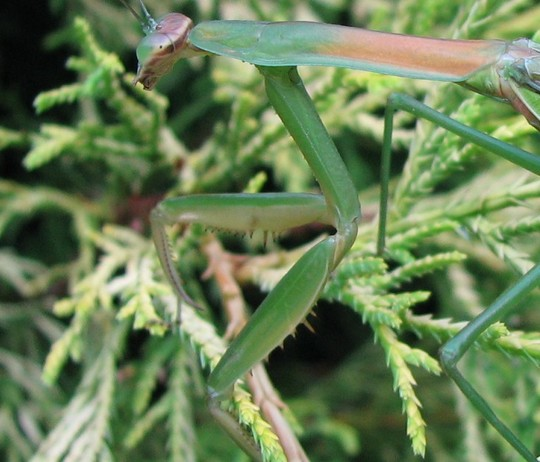 close up of praying mantis claws