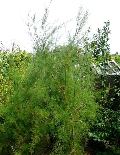 Tamarisk shrubs (Tamarix tetranda)