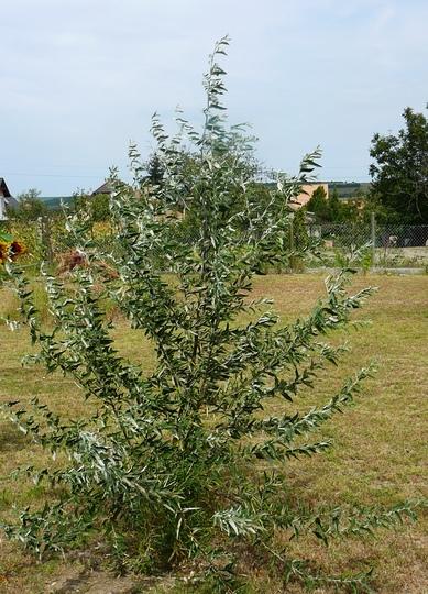 Olive willow (Salix eleagnos)