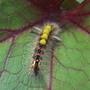 Tussock Moth Larvae