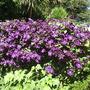Clematis_etoille_violette