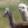 Baby_alpacas