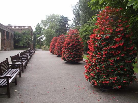 Begonia Towers, London (just joking). Tiered begonia planting, Holland Park, London
