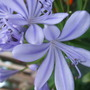 Agapanthus_close_up