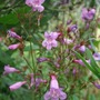 Penstemon_smallii_lilac_bells_