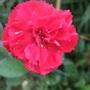 Red_garden_pink