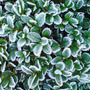 frosy box tree (Buxus sempervirens)