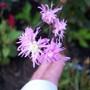 Lychnis flos-cuculi Jenny (Ragged robin)