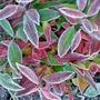 leucothoe scarlettii (Leucothoe scarlettii)