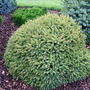 Picea_abies_oldenburg