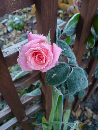 Rose 'High Hopes' (Rosa 'High Hopes')