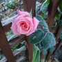 Rose 'High Hopes' (Rosa 'High Hopes')