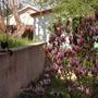 Magnolio Soulengiana (magnoliaceae)