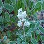 frosty ceonothus (Ceanothus x delileanus 'gloire de versailles')