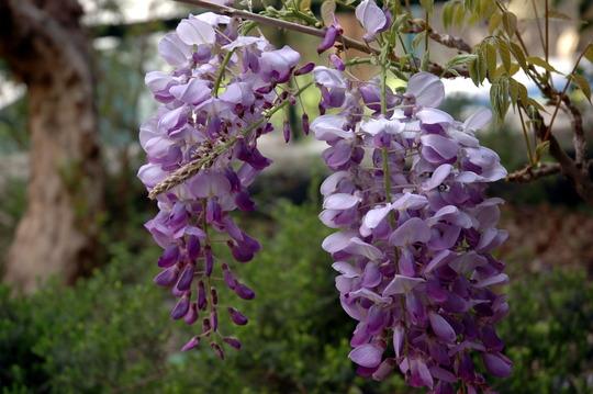 Glicinia flowers in Spring (Wisteria sinensis)