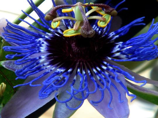 Passion Flower (passiflora Constance Elliot variety)