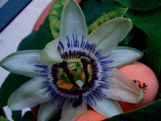 Passiflora Caerulea (passiflora Constance Elliot variety)