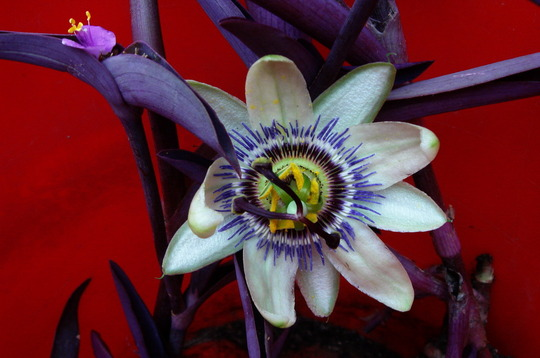 Passiflora Caerulea with a Red Background (passiflora Constance Elliot variety)