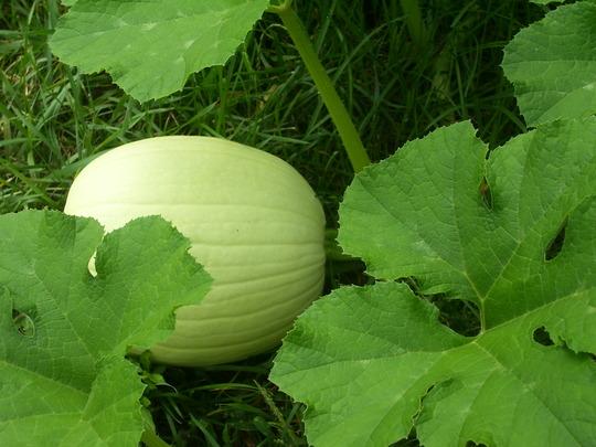Baby Pumpkin (Cucurbita argyrosperma (Vatnga Cushaw))