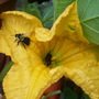Pumkin Flower and Bees (Cucurbita argyrosperma (Vatnga Cushaw))