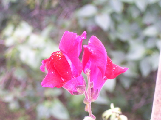 Red Snapdragon