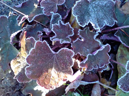 frosted heuchera (Heuchera micrantha)