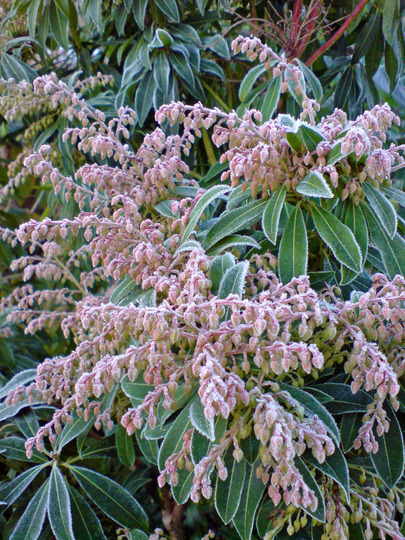 frosted pieris (Pieris japonica (Lily of the valley bush))