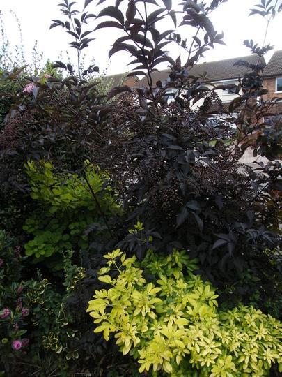 Choisia Sundance and Sambucus nigra