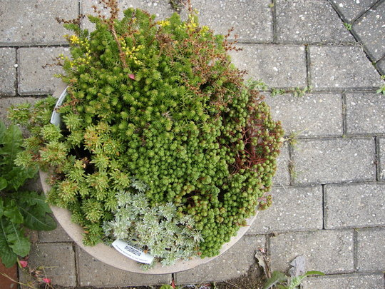 alpine pot