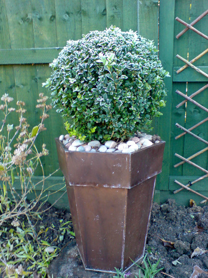 frosty box tree (Buxus sempervirens)