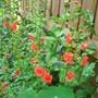 Alsonsoa Scarlet (Alonsoa)