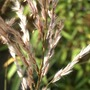 Close Up (Miscanthus sinensis)