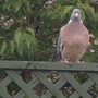 Mr Pigeon sat and watched us all afternoon