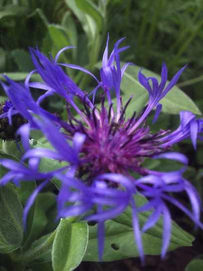 Centaurea Montana (Centaurea Montana Cyanus)