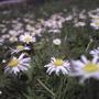 22.daisies.01