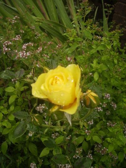 Yellow Rose 08.08 (Rosa)