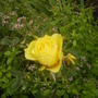 Yellow Rose 08.08 (Rosa)