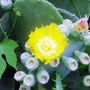 Prickly Pear Cactus Blossom