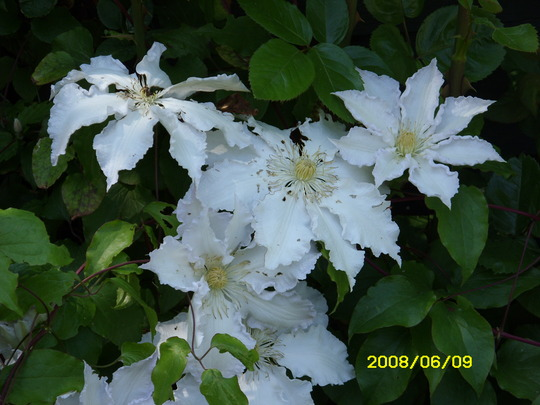 CLEMATIS Gladys Picard (Clematis)