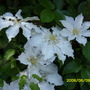 Clematis_and_roses_003