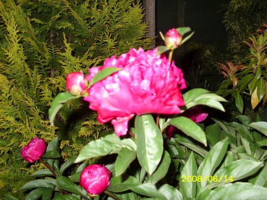 PEAONY (Paeonia)