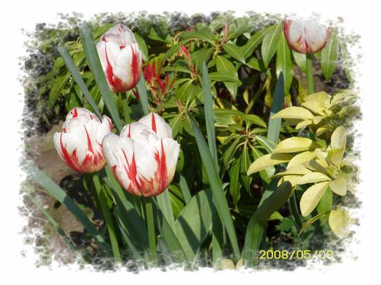 Stripes (Tulipa)
