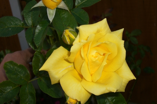 yellow rose (rosa)