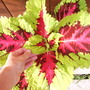 Giant Coleus (Coleus Kong Series 'Giant Rose')