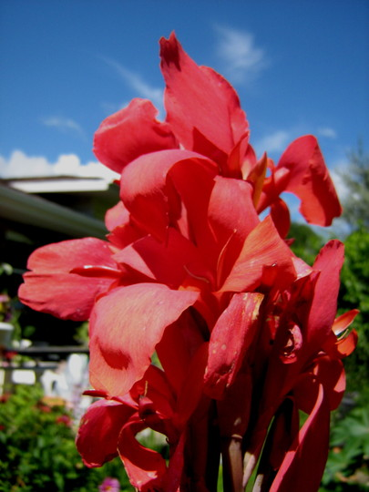 Scarlet Dwarf Canna Lily (Canna indica (Indian shot plant))