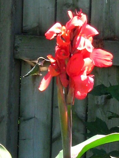 A Canna Enthusiast (Canna indica (Indian shot plant))