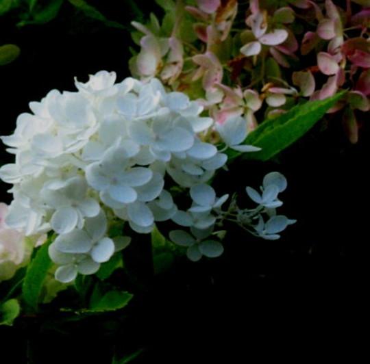 Annabelle hydrangea