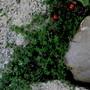 Thymus praecox...creeping thyme (Thymus praecox)