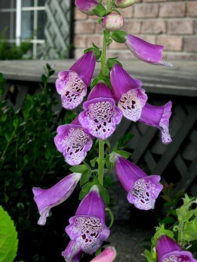 A garden flower photo (digitalis purpurea)
