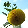 Dahlia  (globe) (Dahlia Pinnata (Dahlia) globe type)